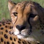 素晴らしい動画 Cheetahs on the Edge–Director's Cut