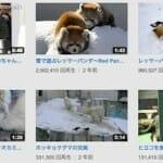 円山動物園レッサーパンダ動画が大人気(MAYUさんブログ)
