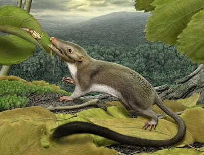 Artist's rendering of the hypothetical placental ancestor, a small insect-eating animal. / Carl Buell