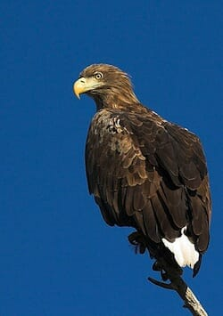 White tailed eagle(オジロワシ)/ Wikipedia