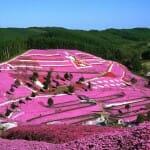美しいピンクのじゅうたん「芝ざくら」