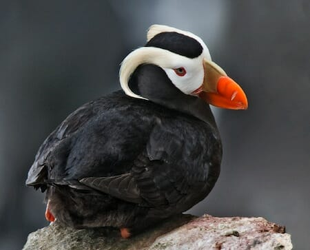 エトピリカ(Tufted Puffin)/ Wikipedia