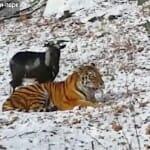 アムールトラとヤギの微笑ましい友情物語
