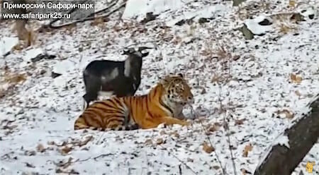 Необычная дружба тигра и козла в Сафари парке / safaripark25.TV