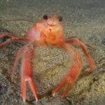 海の生態系に欠かせないカニ、ツナクラブ(tuna crab)
