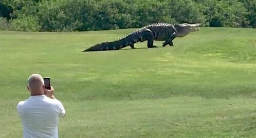 Giant Gator Walks Across Florida Golf Course / Golf.com