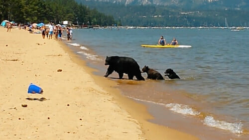 Mother bear and her cubs on the beach. Pope Beach. Lake Tahoe. CA (III) / Norma Alvarez