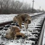 オス犬は怪我したメス犬に寄り添い列車から守る