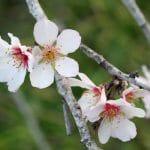 植物界のバラ科サクラ属は経済的にも重要(^^)